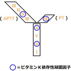 ビタミンK依存性凝固因子の解説画像